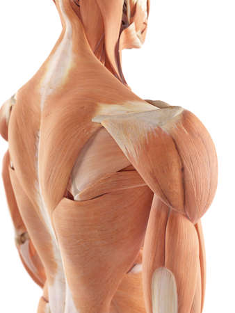 deep: medical accurate illustration of the shoulder muscles