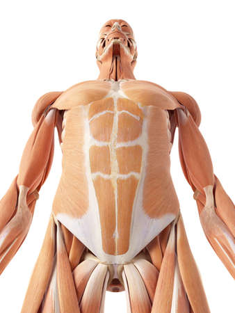 accurate: medical accurate illustration of the abdominal muscles