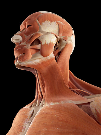 musculature: medical accurate illustration of the head and neck muscles