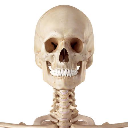 huesos: ilustración médica exacta del cráneo