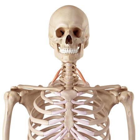 anterior: medical accurate illustration of the scalene anterior