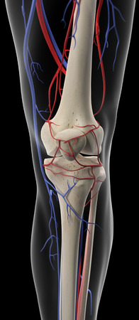 femoral: medically accurate illustration of the arteries and veins of the knee Stock Photo