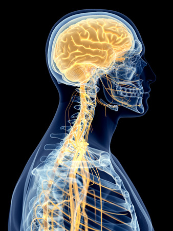 transparent system: medically accurate illustration of the cervical nerves Stock Photo