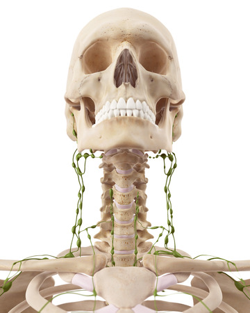 lymph: medically accurate illustration of the cervical lymph nodes Stock Photo