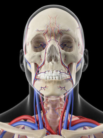 carotid: medically accurate illustration of the veins and arteries of the head