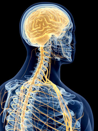 sistema nervioso central: ilustración médica precisa de los nervios cervicales