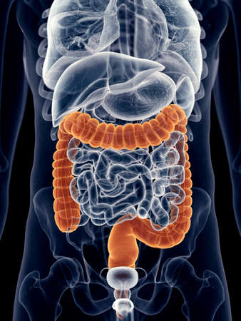 intestino grueso: ilustración médica precisa del colon