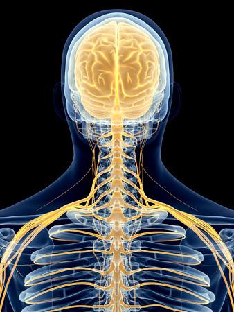 cervicales: ilustración médica precisa de los nervios cervicales