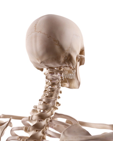 cervicales: ilustración médicamente correcta de la columna cervical y el cráneo Foto de archivo