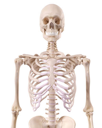 upper: medically accurate illustration of the skeletal thorax Stock Photo
