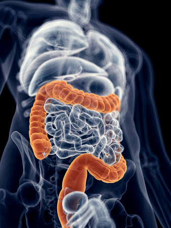 colon: medically accurate illustration of the colon