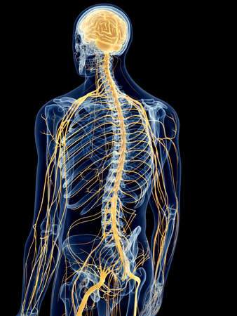 transparent system: medically accurate illustration of the back nerves