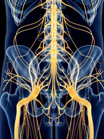 nervios: ilustración médica precisa de los nervios de la cadera