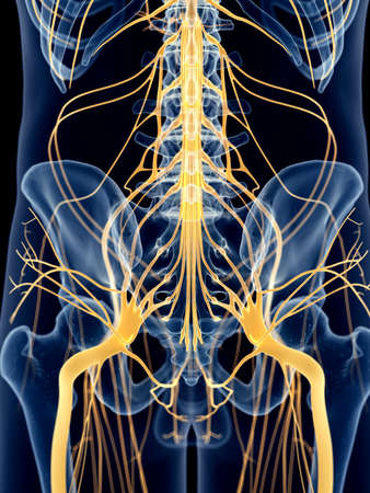 femur: medically accurate illustration of the hip nerves