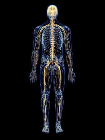 nerveux: illustrations m�dicales exactes du syst�me nerveux Banque d'images