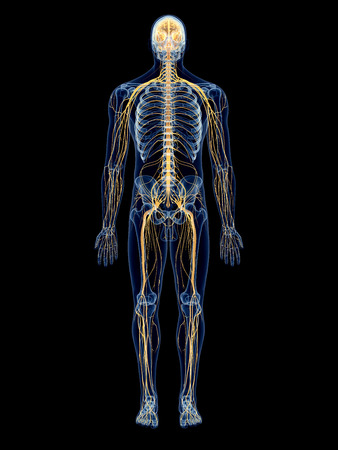 human nervous system: medically accurate illustration of the nervous system
