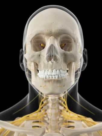 nervios: ilustraci�n m�dica precisa de los nervios cervicales
