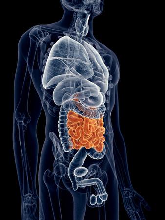 small intestine: medically accurate illustration of the small intestine