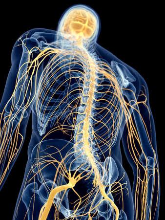 nervios: ilustraci�n m�dica precisa de los nervios de espalda Foto de archivo