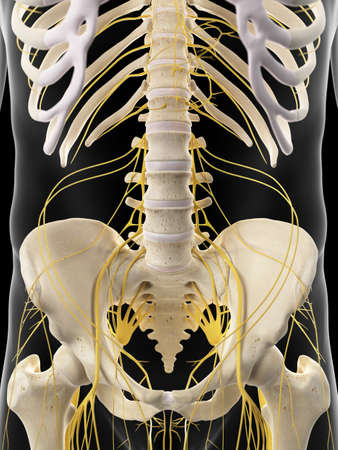 sacral nerves: medically accurate illustration of the abdominal nerves Stock Photo