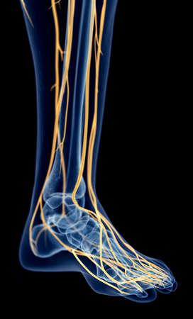 nervios: ilustración médica precisa de los nervios del pie