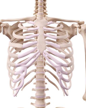 huesos: ilustración médicamente correcta del tórax óseo