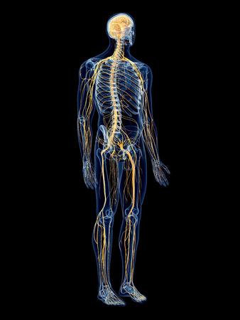 anatomie humaine: illustrations médicales exactes du système nerveux Banque d'images