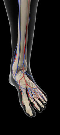 arteries: medically accurate illustration of the arteries and veins of the foot