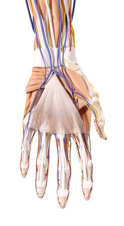 medical illustration: medically accurate illustration of the hand anatomy