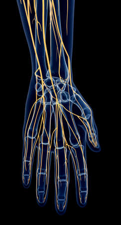 human hand: medically accurate illustration of the hand nerves Stock Photo