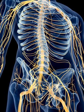 nervios: ilustraci�n m�dica precisa de los nervios abdominales