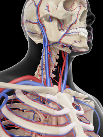 carotid artery: medically accurate illustration of the veins and arteries of the head