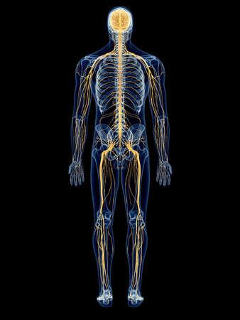 ilustración médica precisa del sistema nervioso