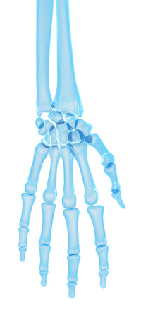 hand bones: medically accurate illustration of the hand bones Stock Photo