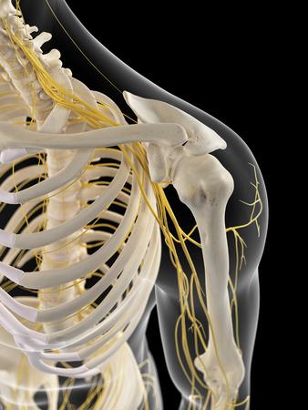 nervios: ilustraci�n m�dica precisa de los nervios del hombro