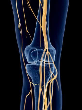nervios: ilustraci�n m�dica precisa de los nervios de la rodilla