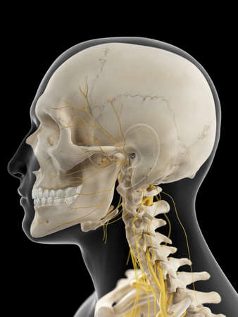 lateral: medically accurate illustration of the cervical nerves Stock Photo