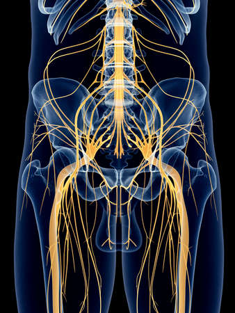 sacral nerves: medically accurate illustration of the sciatic nerve Stock Photo