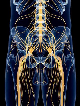 sciatic nerve: medically accurate illustration of the sciatic nerve Stock Photo