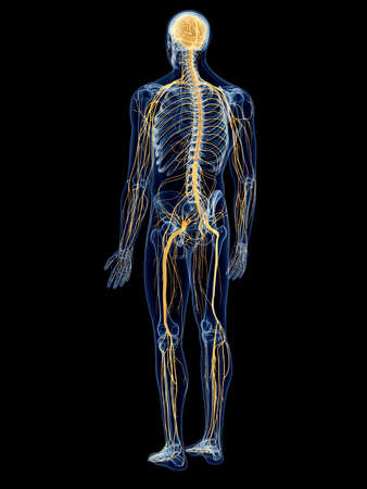 sistema nervioso central: ilustración médica precisa del sistema nervioso