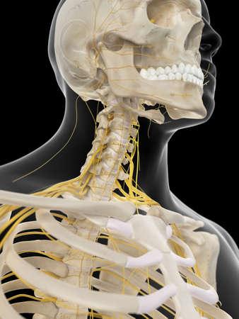 cervicales: ilustraci�n m�dica precisa de los nervios cervicales