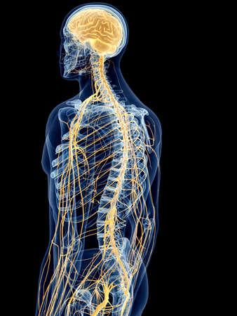 sistema nervioso central: ilustración médica precisa de los nervios de espalda Foto de archivo