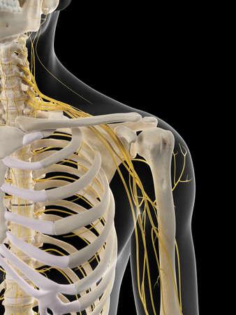 hombros: ilustración médica precisa de los nervios del hombro