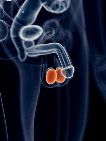 testicles: ilustraci�n m�dica precisa de los test�culos