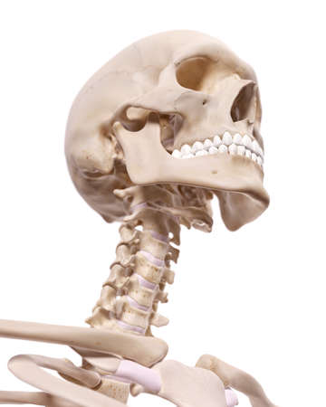 cervical: medically accurate illustration of the cervical spine and skull Stock Photo