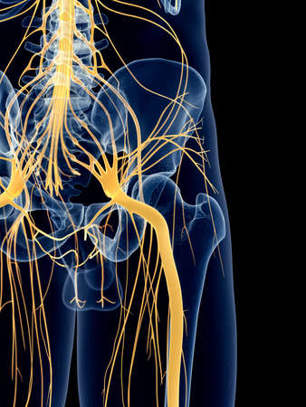 femoral: medically accurate illustration of the sciatic nerve Stock Photo