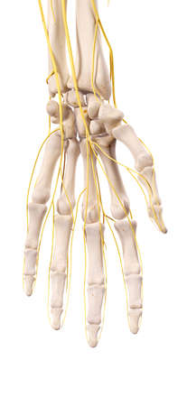 hand illustration: medically accurate illustration of the nerves of the hand