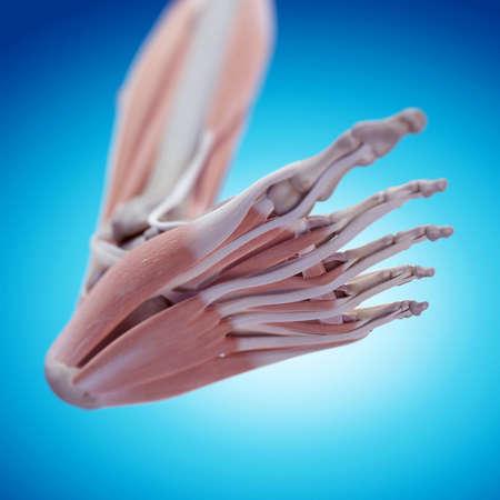 pies masculinos: ilustración médica precisa de la anatomía del pie