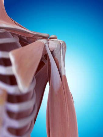 hombros: ilustración médica precisa de la anatomía del hombro Foto de archivo