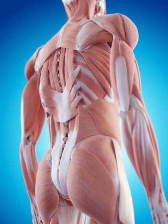 muscle bone: medically accurate illustration of the back muscles Stock Photo